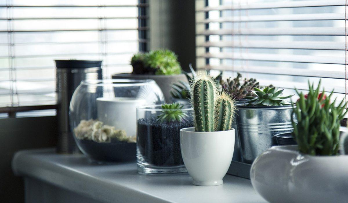 Several small cactus