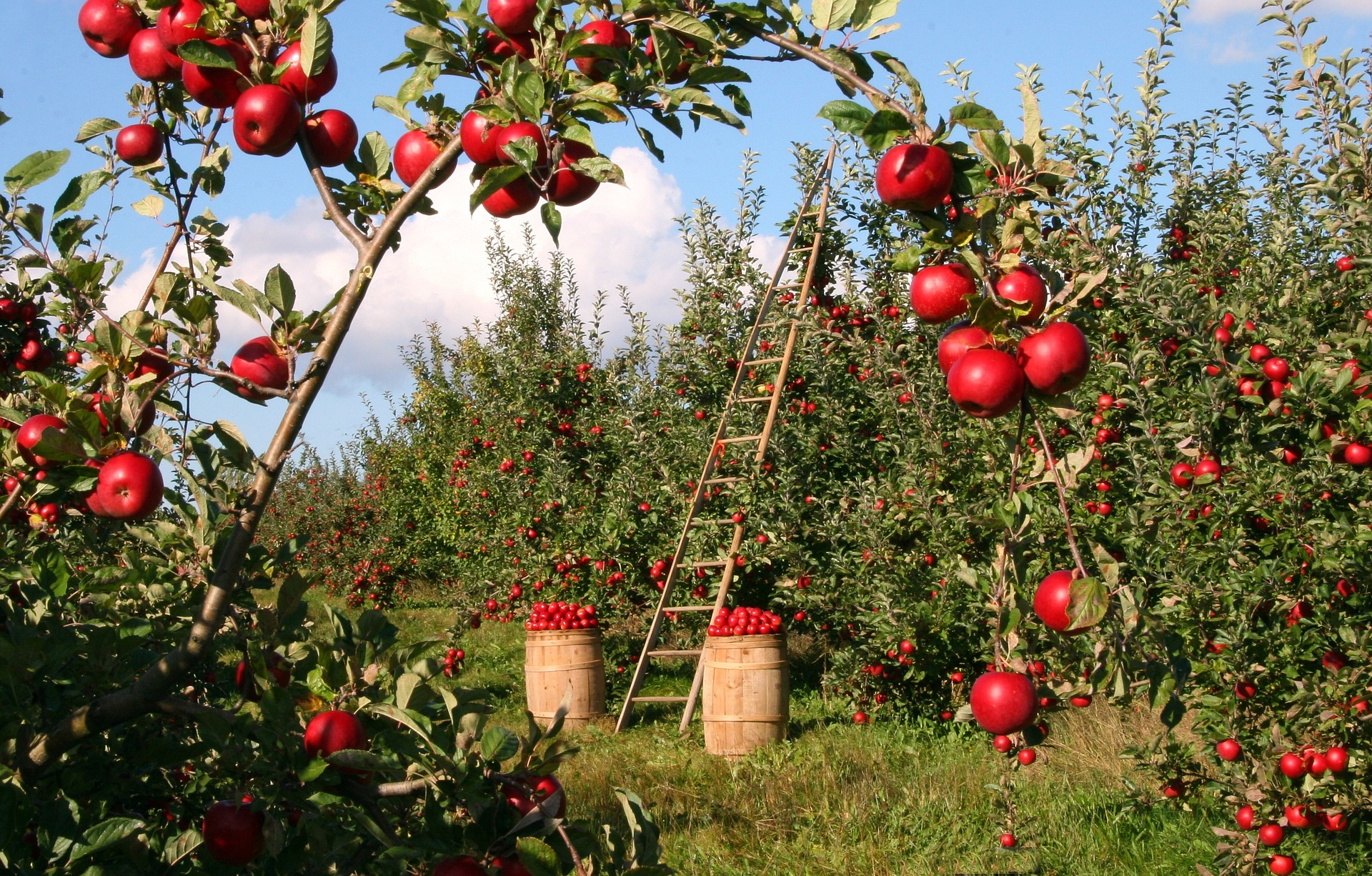 fruit picking apple far